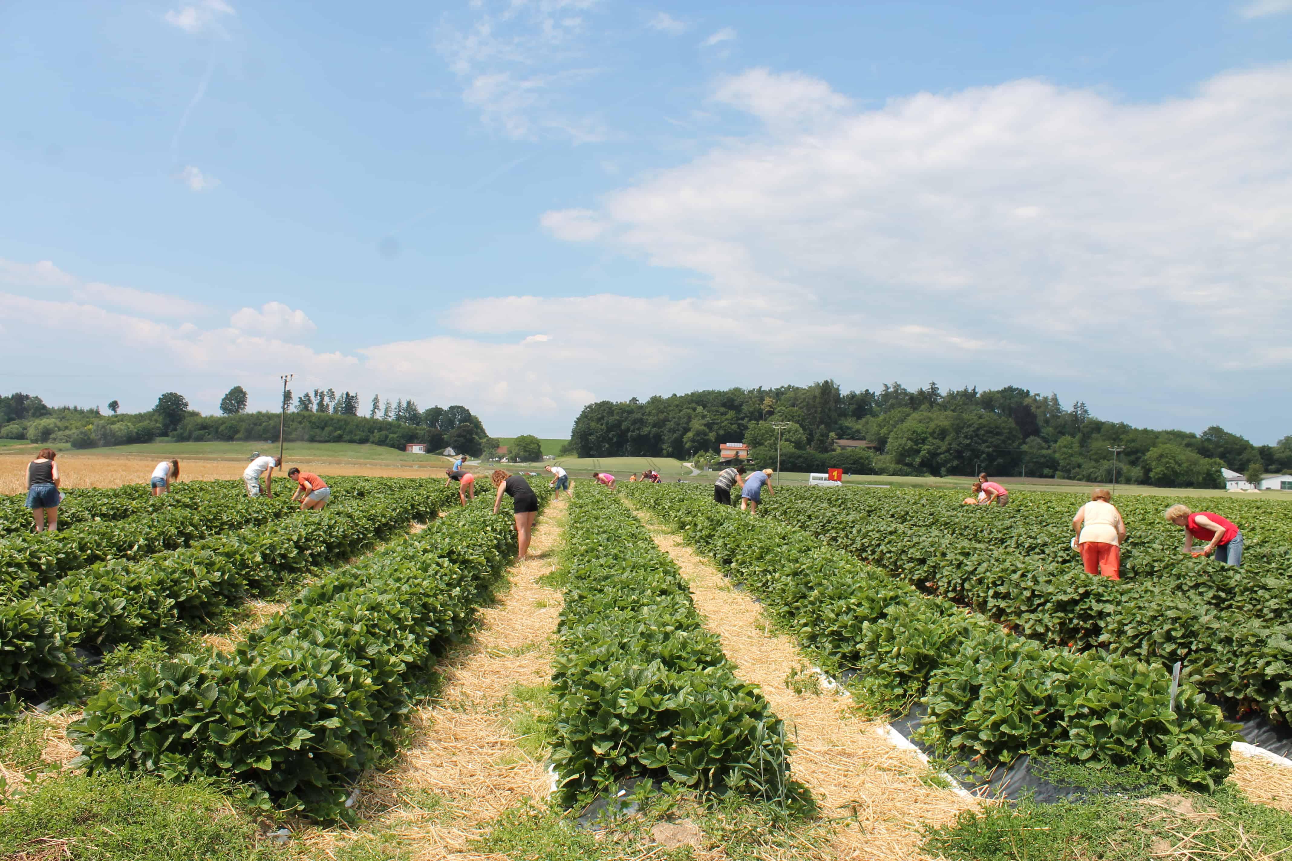 Das neue Erdbeerland in Regendorf bei Zeitlarn