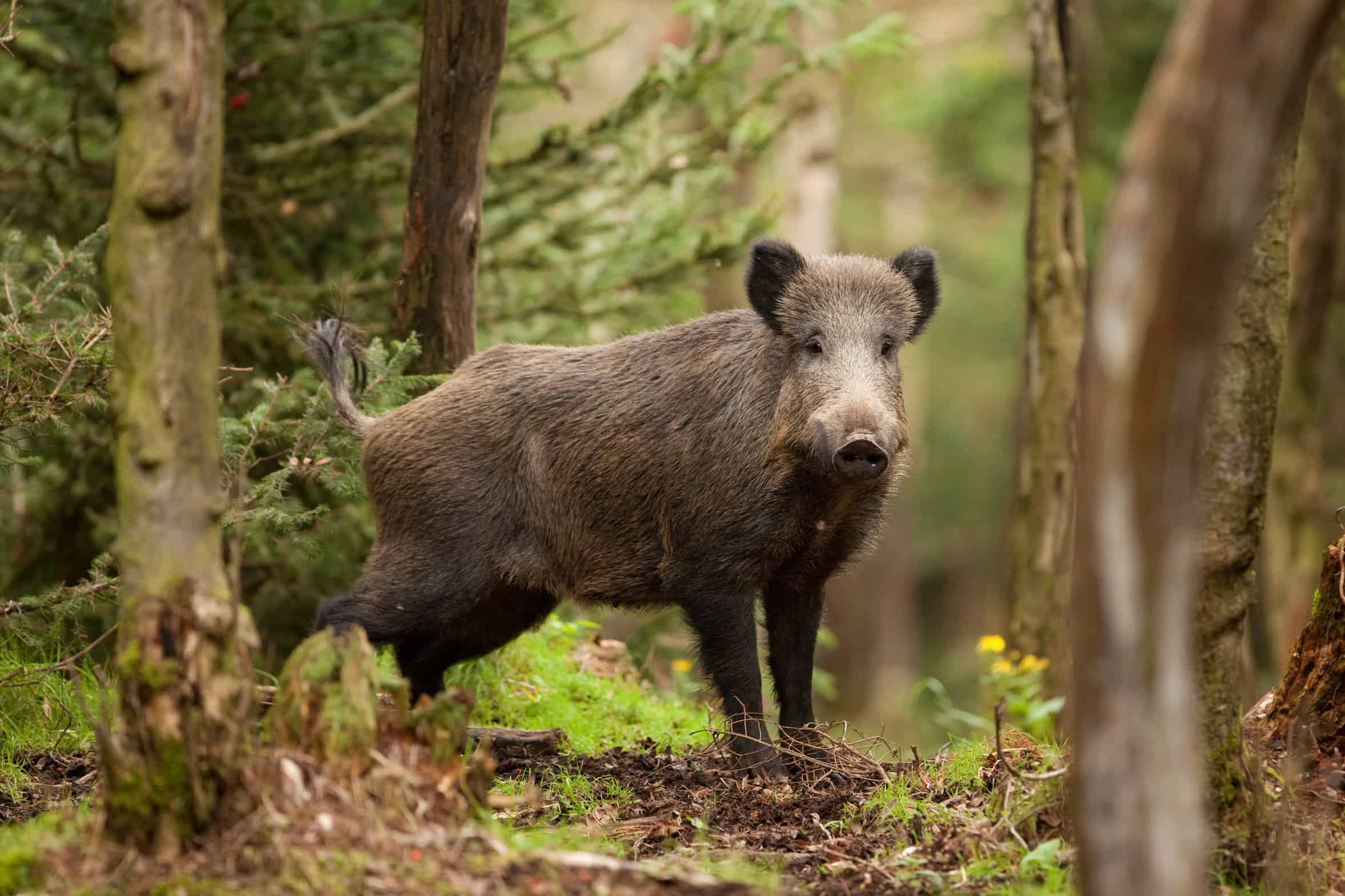 Sorge vor der Afrikanischen Schweinepest