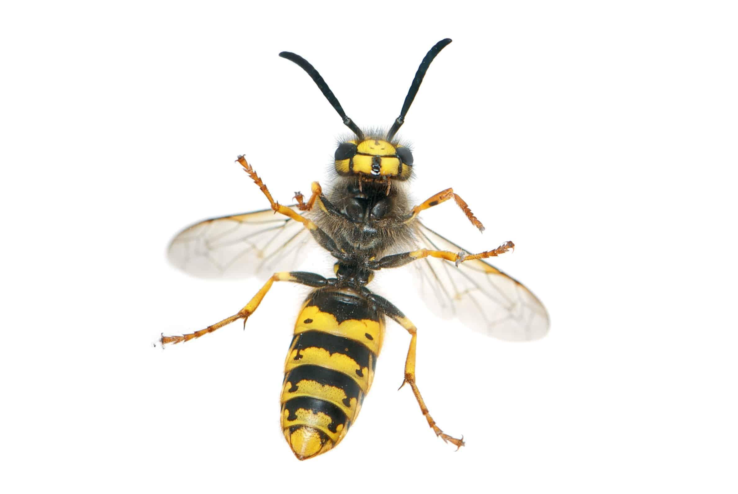 Wespenstich: Allergiker besonders gefährdet