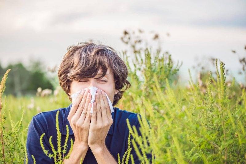 Jetzt wuchert das Asthma-Kraut Ambrosia – darunter leiden nicht nur Allergiker Der Ambrosia den Garaus machen
