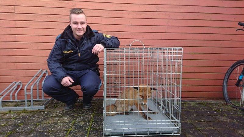 Polizeiobermeister Schlittenbauer mit dem sichtbar geschwächten Fuchs