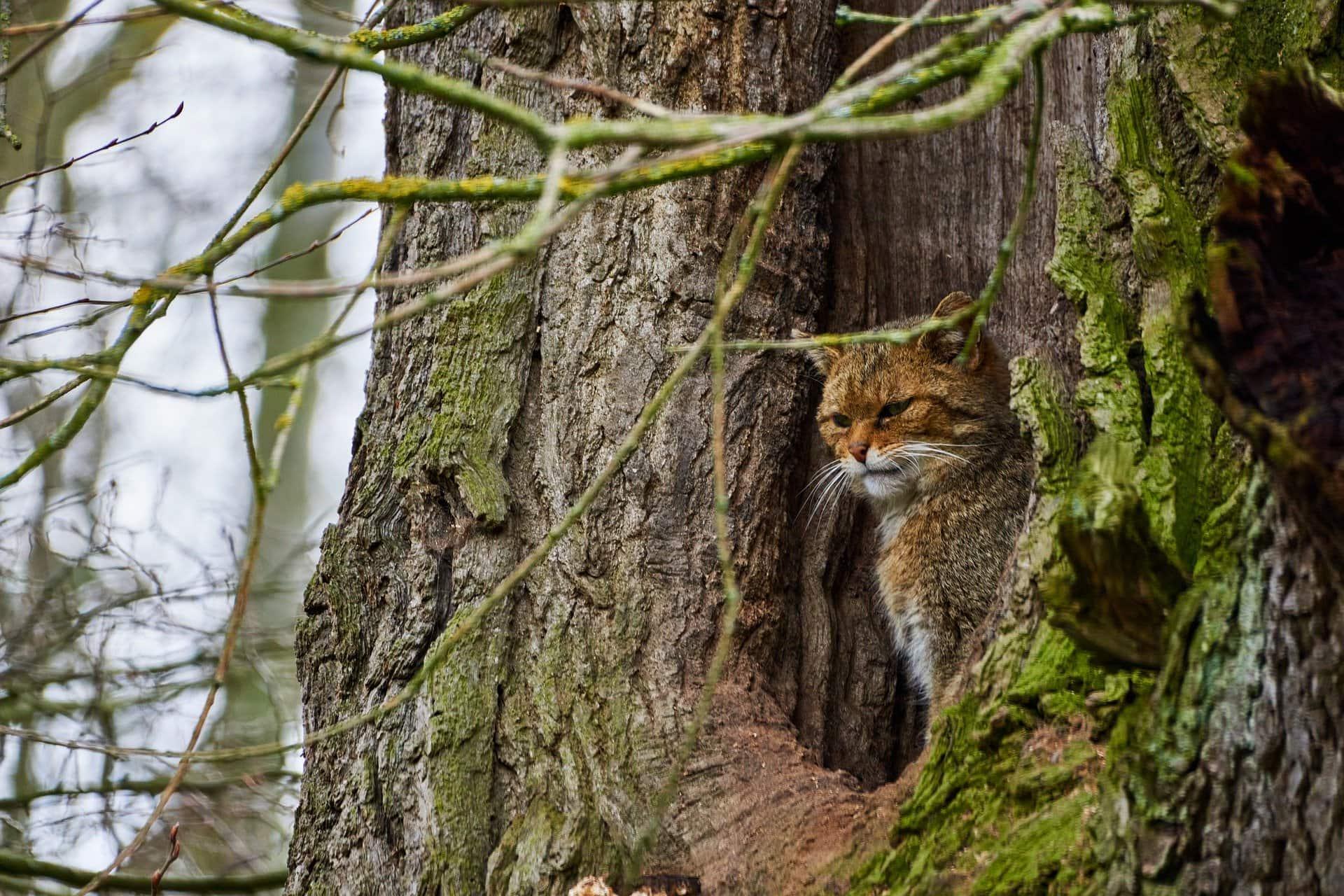 Wildkatzen zurück in Bayern? Scheuer Waldbewohner galt als ausgerottet