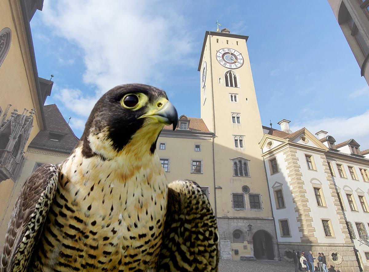 Regensburg Wanderfalken