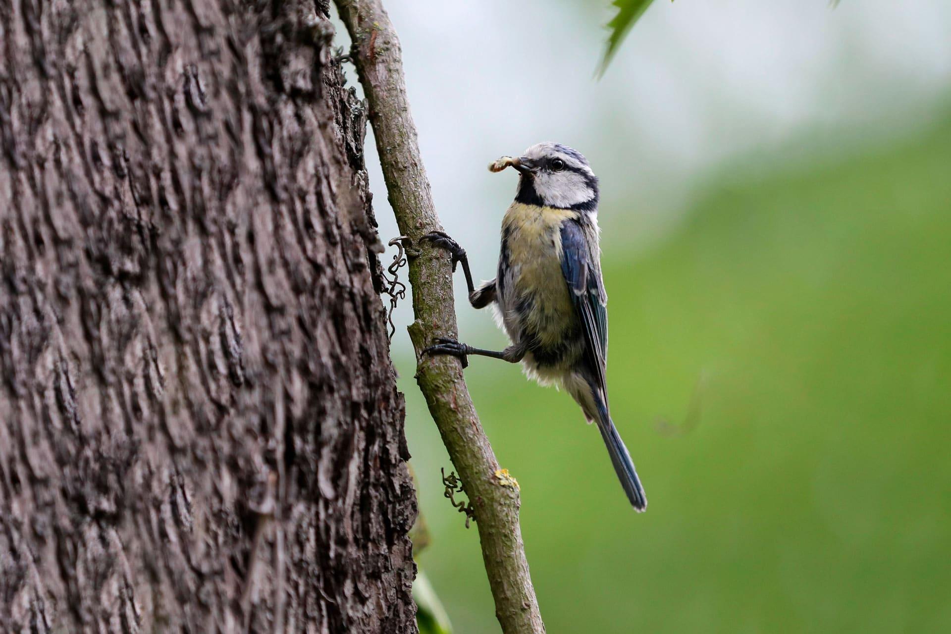Bürger sollen Wintervögel zählen Blaumeise im Fokus