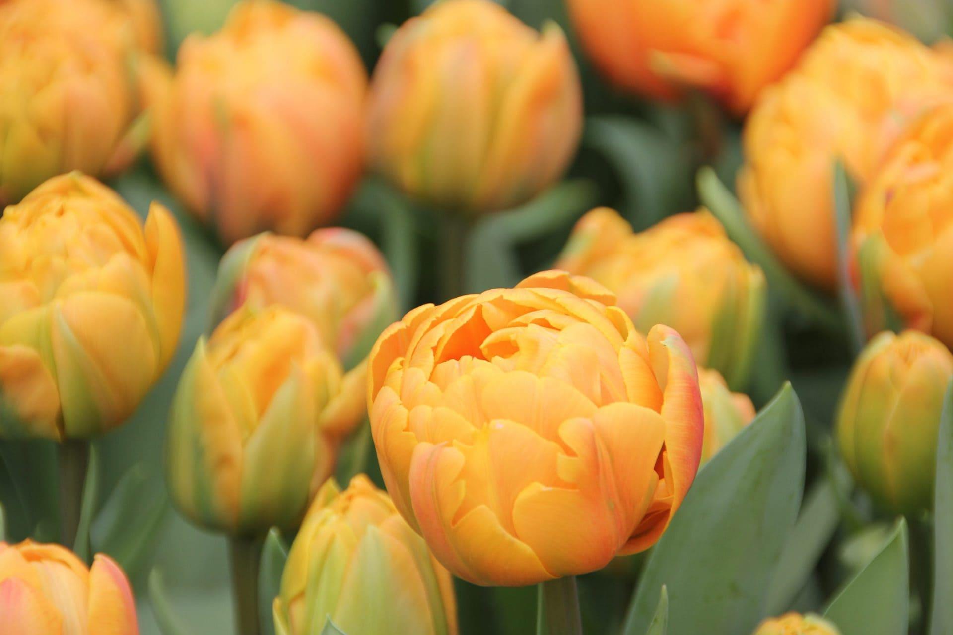 Noch kein Geschenk für Valentinstag? Blizz verlost zusammen mit der Gärtnerei Bendler drei Tulpensträuße