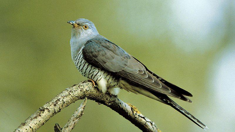 LBV-Aktion: Erste Kuckuck-Rufe zählen Die ersten Kuckucks-Rufe hat der Landesbund für Vogelschutz am 1. April nahe dem Chiemsee in Oberbayern registriert.