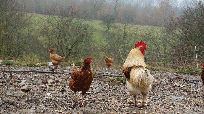 Keine Stallpflicht mehr für Geflügel Tiere im Landkreis Regensburg dürfen wieder ins Freie