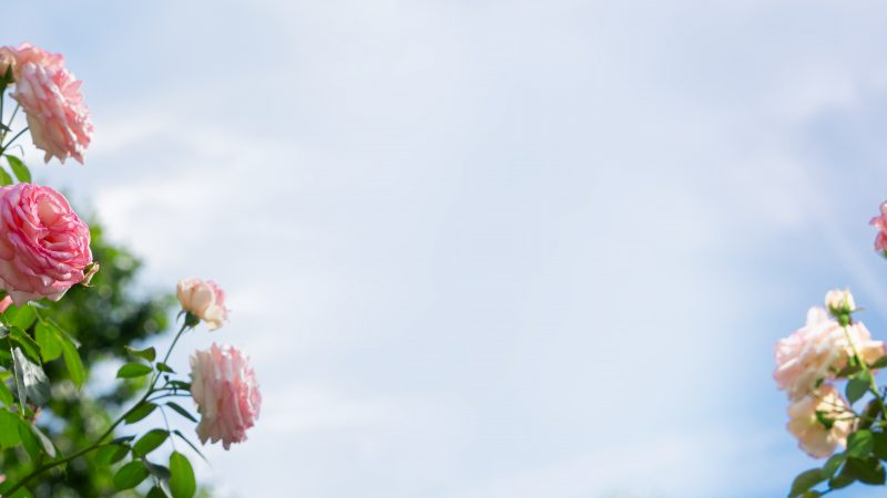 Rosen sind das Symbol der Liebe