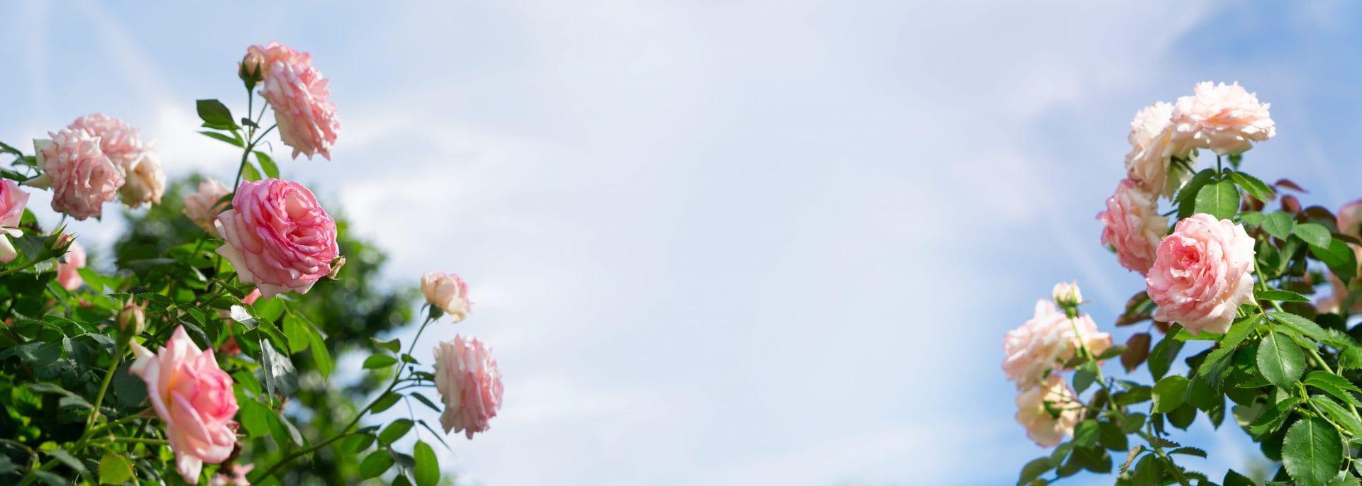 """Juni ist der Rosenmonat So behandeln Sie die """"Königin"""" der Blumen richtig"""