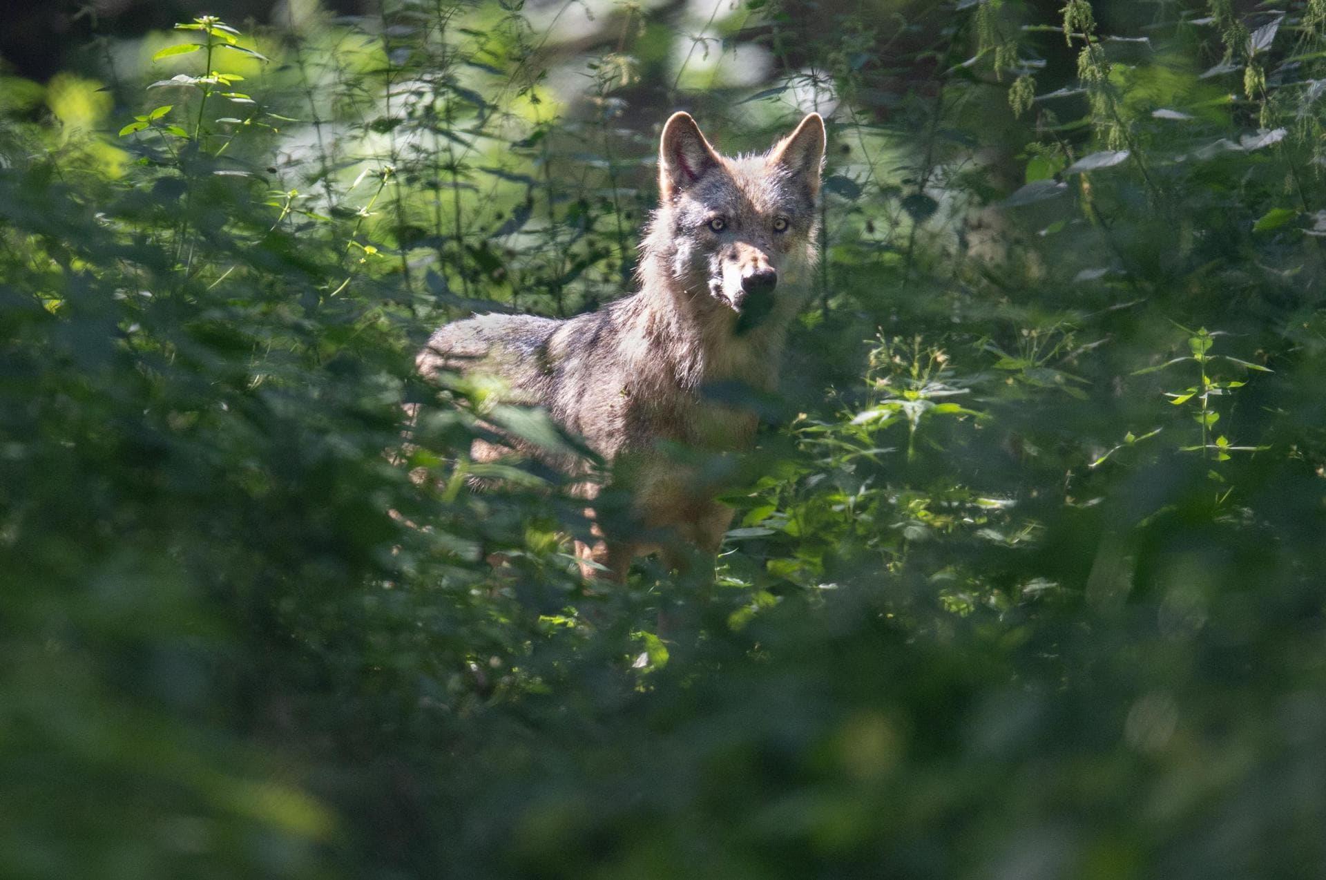 Kaniber will Abschuss von Wölfen erleichtern